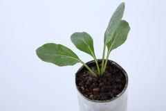 Växa för grönsak Royaltyfri Bild