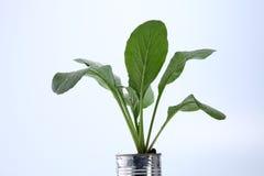 Växa för grönsak Royaltyfria Foton
