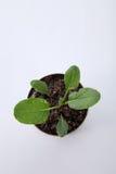 Växa för grönsak Fotografering för Bildbyråer