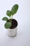Växa för grönsak Arkivfoton