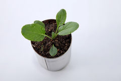 Växa för grönsak Royaltyfri Foto