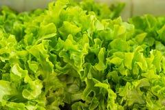 Växa för grönsak för hydrokultur grönt i barnkammaren, jordbruk Royaltyfria Foton