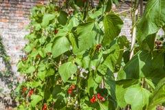 Växa för haricot vert Arkivfoto