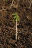 Växa för kassava Arkivbild