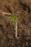 Växa för kassava Arkivfoton