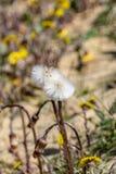 Växa för lösa blommor för maskros i torr ointressant miljö av sanddyn royaltyfri foto