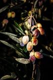 Växa för oliv på olivträdet i Messinia, Grekland Arkivfoton