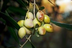 Växa för oliv på trädet, Kalamata, Grekland Fotografering för Bildbyråer