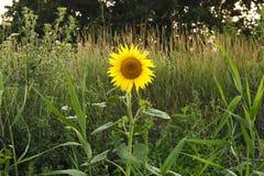 Växa för solrosblomma som är ensamt på vägen Fotografering för Bildbyråer