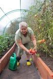 Växa för tomat royaltyfria bilder