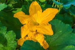 Växa för zucchiniblomma som är trädgårds- Royaltyfria Bilder