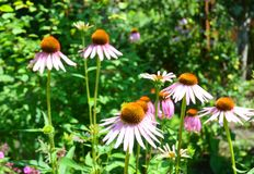 Växa och att bry sig för purpurfärgade Coneflowers, Echinaceablommor Fotografering för Bildbyråer
