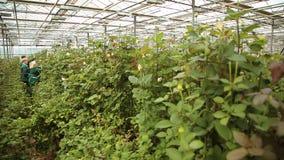 Växa och att bry sig för rosor i växthuset arkivfilmer