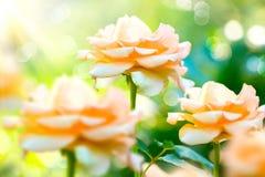 Växa och blommande rosor Arkivbild
