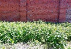 Växa under en tutsan tegelstenstaketväxt royaltyfri fotografi