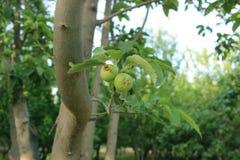 Växande äppletree Arkivfoton