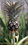 växande ananas royaltyfri bild