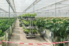 Växande Anturiums i ett stort växthus i Nederländerna royaltyfria foton
