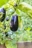Växande aubergine Royaltyfria Foton