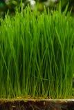 växande avsnitt för gräs Royaltyfri Foto