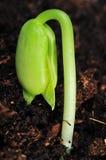 Växande böna Arkivbild