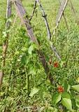 Växande bönor. Royaltyfria Bilder