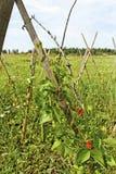 Växande bönor. Royaltyfria Foton