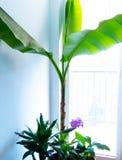 Växande bananväxt inomhus royaltyfri fotografi