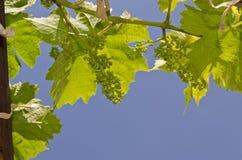 Växande bio druvor Arkivbild