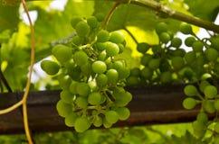 Växande bio druvor Fotografering för Bildbyråer