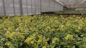 Växande blommor i ett växthus, mycket färgrika blommor i ett modernt växthus arkivfilmer