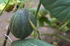 Växande cantaloupmelon i trädgård Royaltyfri Foto