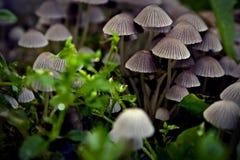 växande champinjoner Royaltyfri Fotografi