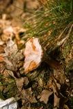 växande champinjontree Royaltyfria Foton
