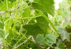 Växande cucamelonfrukter som döljas bland frodig lövverk Arkivfoton