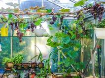 Växande druvor och melon i ett litet växthus fotografering för bildbyråer