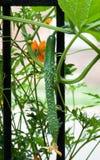 Växande engelsk gurka Fotografering för Bildbyråer