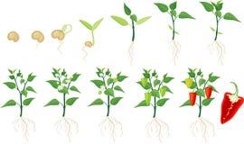 Växande etapp för peppar Arkivfoton