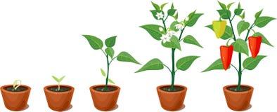 Växande etapp för peppar stock illustrationer