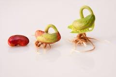 växande etapper för böna Arkivfoton