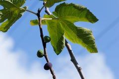 Växande fikonträd Arkivbild