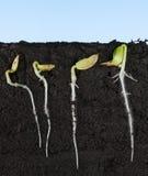 Växande frö för gurka under jordning Royaltyfria Foton