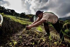Växande gräslökar för arbetare i Central America Arkivbild