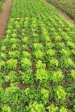 Växande grön grönsallat eller lactuca som är sativa i trädgårdbakgrund fotografering för bildbyråer