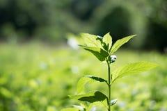 Växande grön rätt Royaltyfri Foto