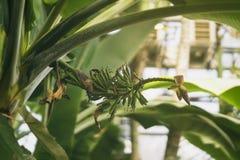 Växande gröna bananer med blomman på bananpalmträdet, solig dag tropisk lövverk Abstrakt naturlig modell som är exotisk Royaltyfri Fotografi