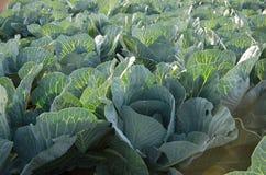växande grönsak för kålfält Fotografering för Bildbyråer
