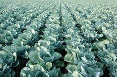 växande grönsak för kålfält Royaltyfri Bild