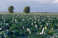 växande grönsak för kålfält Arkivbilder