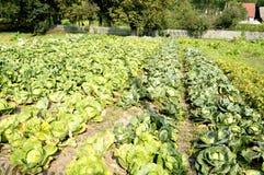 växande grönsak för kålfält Royaltyfria Foton